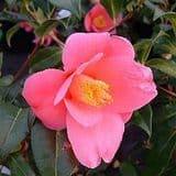 Camellia 'Golden Spangles' - Find Azleas,Camellias,Hydrangea and Rhododendrons at Loder Plants